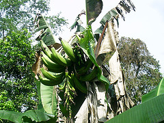 File:Plantains.jpg