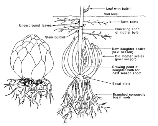 Flower bulbs 3.jpg
