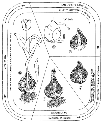 Flower bulbs 9.jpg