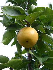 Asianpears.jpg