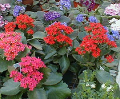 Flowering potted plants.jpg