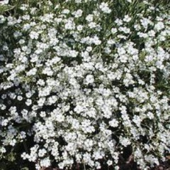 Gypsophila (baby's breath).jpg